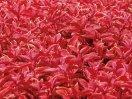 Цветок колеус
