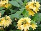сорт Тропик - желтая