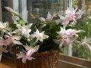 Нежные бело розовые цветки декабриста