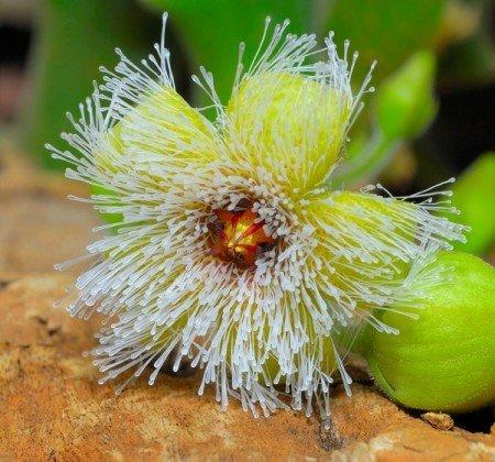 Stapelia glanduliflora - желистоцветковая