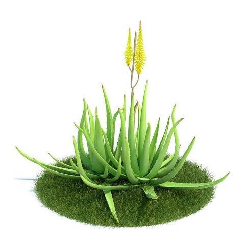 Алоэ: уход и выращивание в домашних условиях