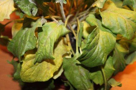 Массовое увядание листьев результат поражения корневой системы грибком