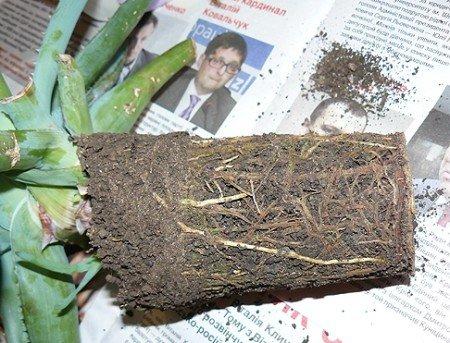Растению подходит неглубокий но широкий глиняный горшок