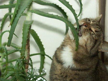 Даже котик знает - лучше алоэ лекарства не бывает!