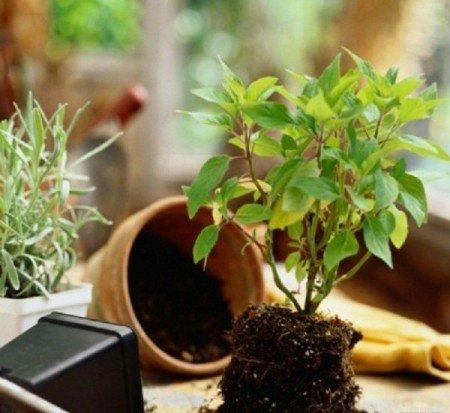 После адаптации, растение необходимо пересадить