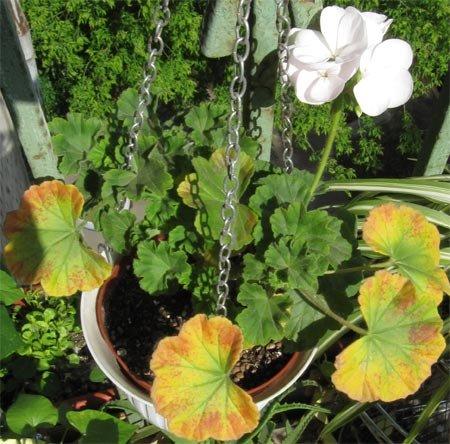 Листья могут краснеть от пониженной температуры или заморозков