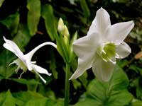 Цикламен цветок