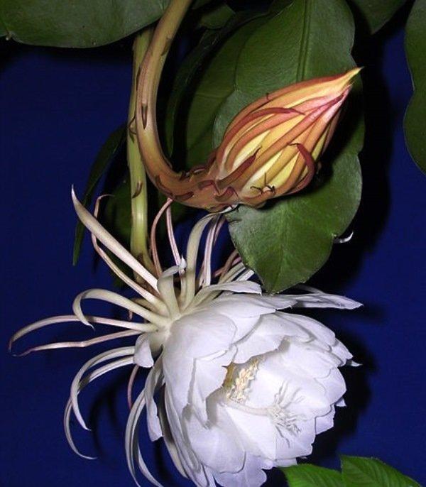 кактусы фото и название эпифиллум