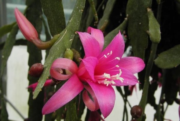 кактус эпифиллум dreamland фото