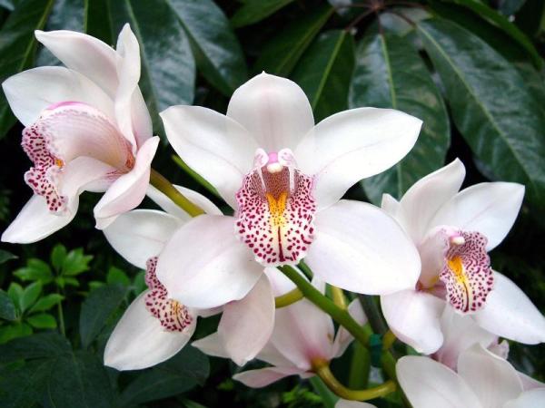 Орхидея цимбидиум пересадка