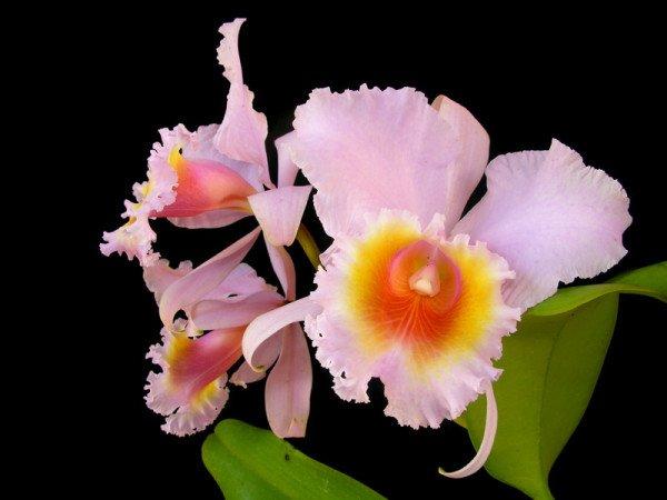 Орхидея каттлея вредители