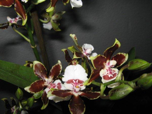 Орхидея камбрия размножение