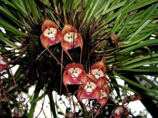 Орхидея обезьянья
