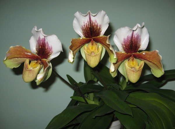 Орхидея пафиопедилум фото