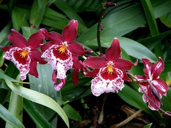 Орхидея мильтония размножение