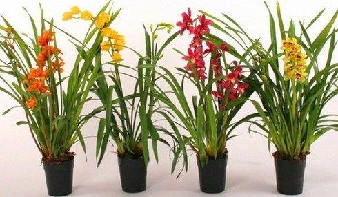 Тонкости выращивания и ухода в домашних условиях за орхидеей цимбидиум