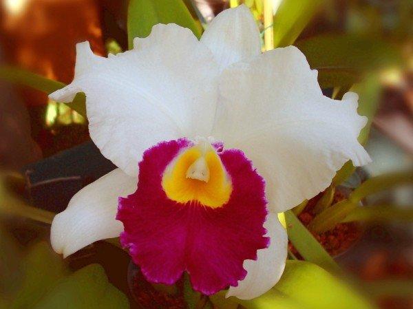 Орхидея каттлея реанимация