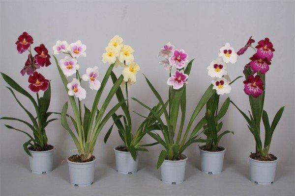 Орхидея мильтония почва