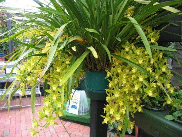 Орхидея цимбидиум освещение