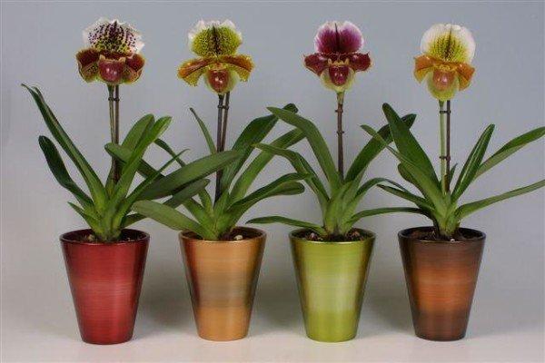 Орхидея венерин башмачок фото