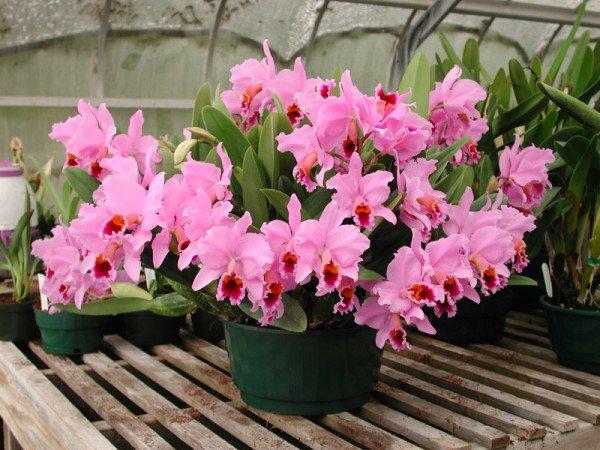 Орхидея каттлея почва