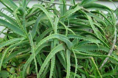 Алоэ коричневые пятна на листьях