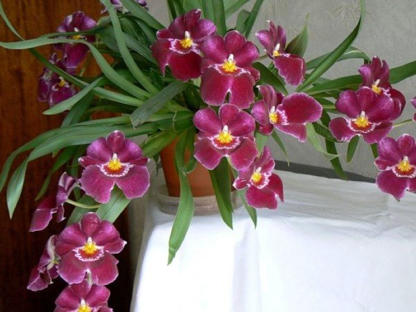 Орхидея мильтония полив