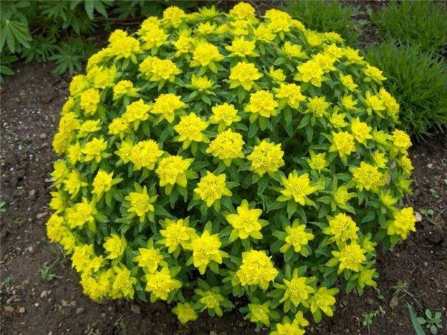 Эуфорбия Многоцветковый