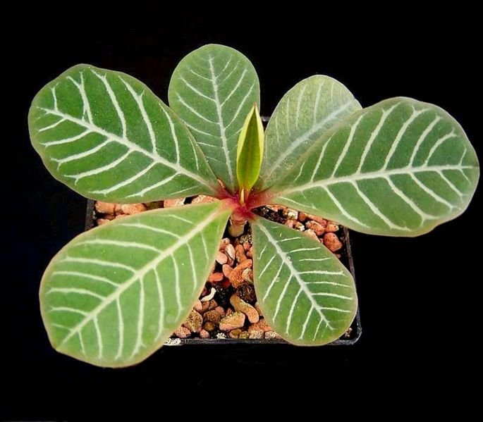 цветок эуфорбия