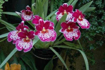 Орхидея мильтония. Уход в домашних условиях