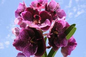 Орхидея обезьянья мордочка