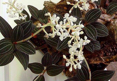 Орхидея ванда