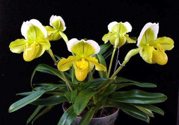 Лесная орхидея венерин башмачок