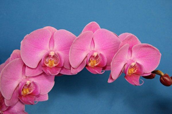 Розовая орхидея фаленопсис пересадка