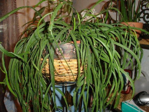 Лесные кактусы виды