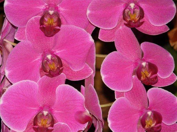 Розовая орхидея фаленопсис болезни