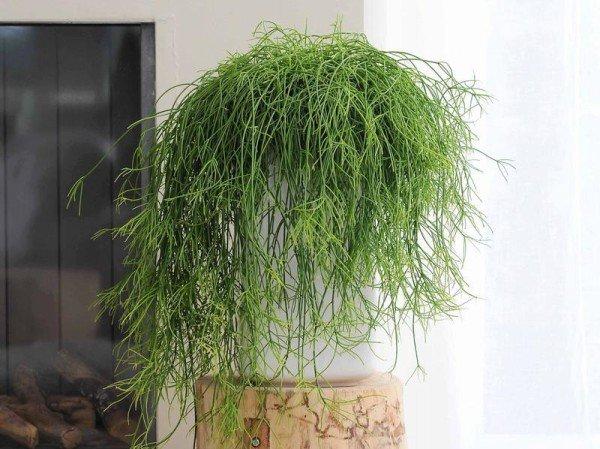 Лесные кактусы Рипсалис