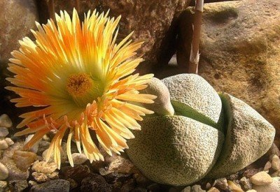 Комнатные растения живые камни