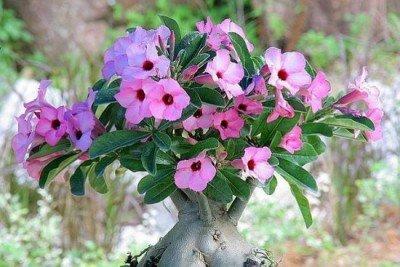 Растение адениум фото