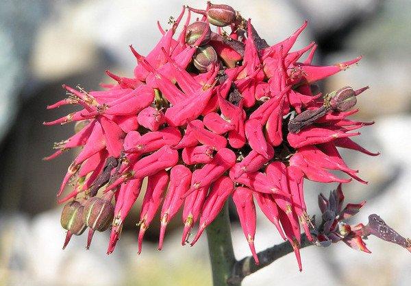 Комнатный цветок педилантус