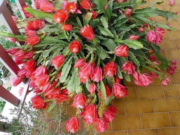 Лесные кактусы Эпифиллум