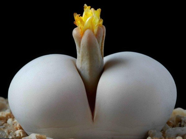 Живой камень цветок