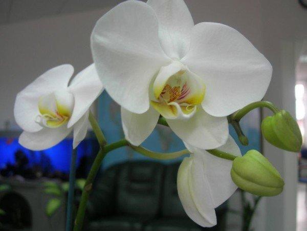 Цветок орхидея белая