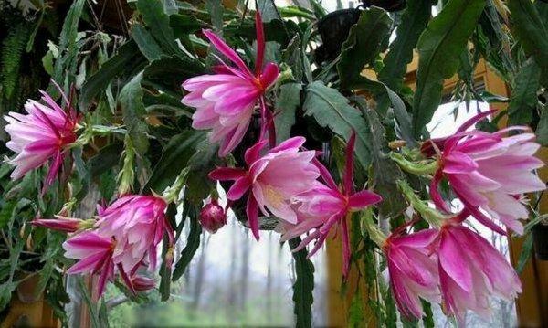 Комнатный цветок эпифиллум