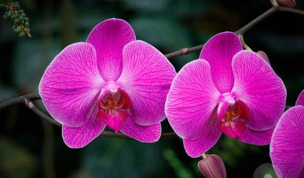 Розовая орхидея фаленопсис фото
