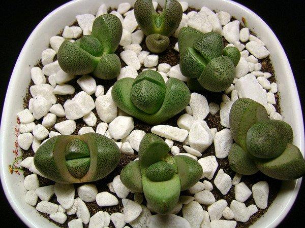Растения живые камни