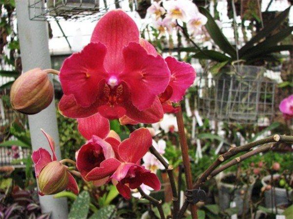 Красная орхидея Фаленопсис температура