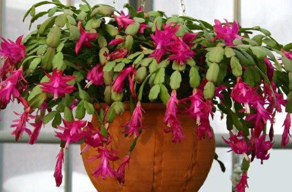 Лесные кактусы фото
