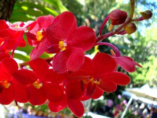 Красная орхидея Фаленопсис цветение
