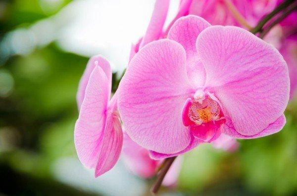 Розовая орхидея фаленопсис освещение